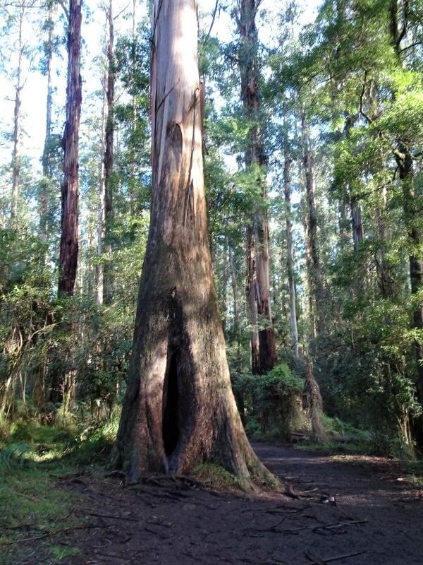 Shield_tree_sherbrooke_forest