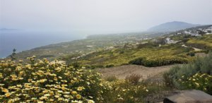 Wildflowers line the route of the Santorini caldera cliff-top hike from fira to oia