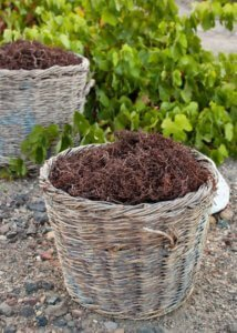 Baskets with stalks in Santorini winery vineyard