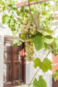 Grapes in the sun of Santorini