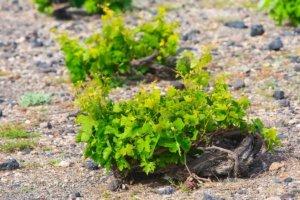 Spiral vine in Santorini, Greece
