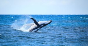 Whale watching on great ocean road holiday
