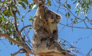 kennett river koala walk on great ocean road holiday itinerary