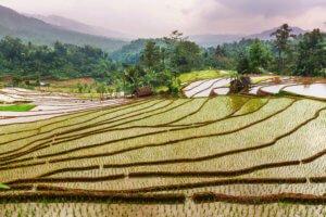 javanese food: wet rice to make nasi uduk