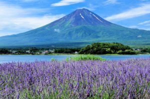 Fuji mountain and Lavender