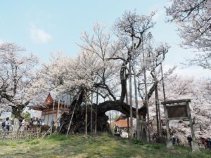 Jisso-Ji Temple and Cherry Blossom Tree