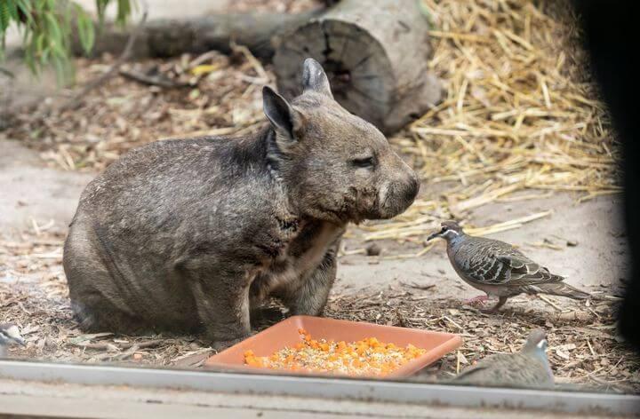 wombat moonlit sanctuary